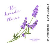 bunch of lavender flowers on a... | Shutterstock .eps vector #1145026835