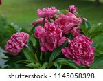 pink peony herbaceous hybrid ... | Shutterstock . vector #1145058398