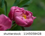 pink peony herbaceous hybrid ... | Shutterstock . vector #1145058428