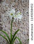 ismene deflexa flowering plant... | Shutterstock . vector #1145058452