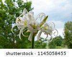 ismene deflexa flowering plant... | Shutterstock . vector #1145058455