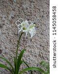 ismene deflexa flowering plant... | Shutterstock . vector #1145058458