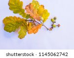 oak branches with leaves and... | Shutterstock . vector #1145062742