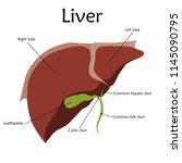 human liver with a description. ... | Shutterstock .eps vector #1145090795