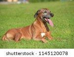 amazing portrait of adorable... | Shutterstock . vector #1145120078