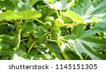 figs on the branch of a fig... | Shutterstock . vector #1145151305