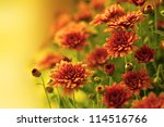 Colorful Autumnal Chrysanthemum