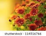 Colorful Autumnal Chrysanthemum