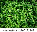 the mountain ebony ferns in the ... | Shutterstock . vector #1145171162