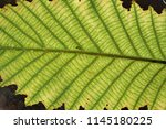 leaf pattern and texture closeup | Shutterstock . vector #1145180225