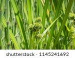 inflorescence of  simplestem...   Shutterstock . vector #1145241692