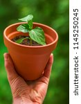 small chili plant seedling in... | Shutterstock . vector #1145250245