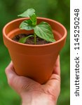 hand holding small chili plant... | Shutterstock . vector #1145250248