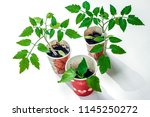 growing tomato plants in small... | Shutterstock . vector #1145250272