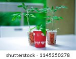 growing tomato plants in small... | Shutterstock . vector #1145250278