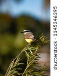 the great kiskadee  pitangus... | Shutterstock . vector #1145346395