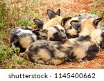 African Wild Dog In National...