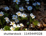 natural floral background with... | Shutterstock . vector #1145449328