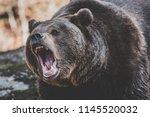 Brown bear in Bayerischer Wald