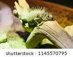 green iguana  also known as the ...   Shutterstock . vector #1145570795