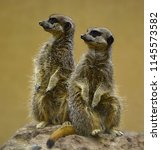 Meerkats Posing In A Rock.