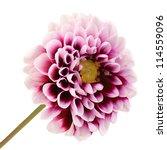 beautiful purple flower... | Shutterstock . vector #114559096