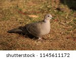 the eurasian collared dove ... | Shutterstock . vector #1145611172