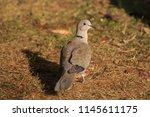 the eurasian collared dove ... | Shutterstock . vector #1145611175