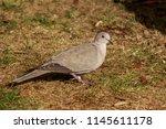 the eurasian collared dove ... | Shutterstock . vector #1145611178