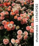 Stock photo blooming beautiful colorful roses as floral background 1145639282