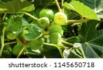 figs on the branch of a fig... | Shutterstock . vector #1145650718