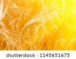 Wheat Field Ears Of Golden...