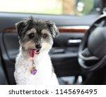 a very cute female havanese dog ... | Shutterstock . vector #1145696495