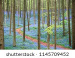 natural carpet of bluebell... | Shutterstock . vector #1145709452