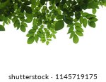 tree branch isolated | Shutterstock . vector #1145719175