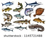 Stock vector fish sketches of sea ocean and river animal for seafood and fishing sport design salmon tuna and 1145721488