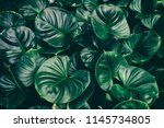 tropical leaf  dark green lush... | Shutterstock . vector #1145734805