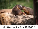 baby marmot nuzzling in close... | Shutterstock . vector #1145792432