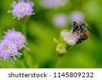 bee eating  bee sucking the... | Shutterstock . vector #1145809232