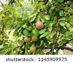 photo of green pears on a pear... | Shutterstock . vector #1145909975