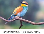 exotic bird among the rough... | Shutterstock . vector #1146027842