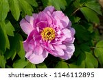 plant  the peony | Shutterstock . vector #1146112895