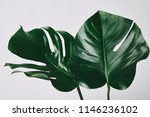 beautiful green monstera leaves ... | Shutterstock . vector #1146236102