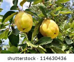 Two Big Ripe Quincec On A Tree