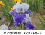 Iris Bearded  Flowers Of Iris...