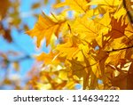 yellow maple leaves on a twig... | Shutterstock . vector #114634222