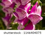 Close Up Macro Shot Of Foxglove ...