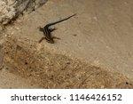 lizard sitting on brown stone.... | Shutterstock . vector #1146426152