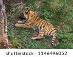 amur tiger in a zoo in saint... | Shutterstock . vector #1146496052