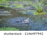 white wagtail or motacilla alba ... | Shutterstock . vector #1146497942
